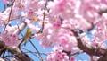 我和一棵樱桃树 39647761