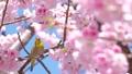 我和一棵樱桃树 39647762