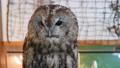 モリフクロウ フクロウ 梟 鳥 ペット 繁殖個体 39671229