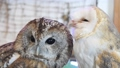 モリフクロウ フクロウ 梟 鳥 ペット 繁殖個体 39671232