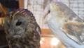 モリフクロウ フクロウ 梟 鳥 ペット 繁殖個体 39671233