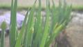 ネギ 葱 根木 根木 ネギ畑 野菜 栽培 農業 収穫 食品 フード オーガニック  39671280