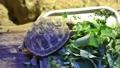 リクガメ 子亀 餌 食べる 野菜 草食 亀 カメ 甲羅 小さい 飼育 39671361
