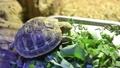 リクガメ 子亀 餌 食べる 野菜 草食 亀 カメ 甲羅 小さい 飼育 39671362