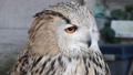 シベリアワシミミズク ミミズク 鳥類 鳥 猛禽 ペット  39671438