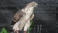 タイクマタカ クマタカ 熊鷹 鷹 猛禽類 鳥類 動物 タカ 39671481