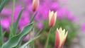 チューリップの蕾 チューリップ 蕾 つぼみ 初春 春 花 咲く  39671511
