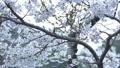 cherry blossom, cherry tree, fake buyer 39715996