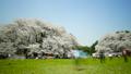 桜 タイムラプス さくらの動画 39744073