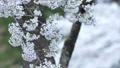 cherry blossom, cherry tree, fake buyer 39757822