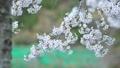 cherry blossom, cherry tree, fake buyer 39757823
