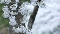 cherry blossom, cherry tree, fake buyer 39757824