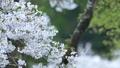 cherry blossom, cherry tree, fake buyer 39757825