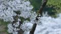 cherry blossom, cherry tree, fake buyer 39757826