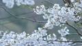 cherry blossom, cherry tree, fake buyer 39757828