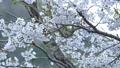 cherry blossom, cherry tree, fake buyer 39757829