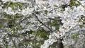 cherry blossom, cherry tree, fake buyer 39771633