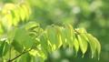 さくらの新緑 フィクス撮影 39822831