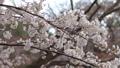 벚꽃 벚나무 수정 촬영 39842668