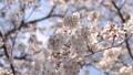벚꽃 벚나무 수정 촬영 39842687