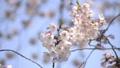 벚꽃 벚나무 수정 촬영 39842706
