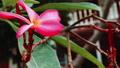 Frangipani flower near resort moving by ocean breeze 39926685
