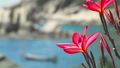 Close up of bright red blossom plumeria flowers in front of the ocean bay with some huge granite 39926700