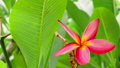 One lilac plumeria flower in front of lush green foliage. Gentle wiggle movement 39926702