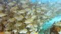 School of reef fish and scuba diver swimming under pier on Arborek Island in the Raja Ampat islands 39926811