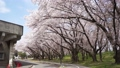 春の霞城公園 39935195