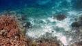 Sea Turtle swimming over coral reef. Hawksbill Turtle 39953093