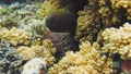 Moray Eel peeking out of a coral reef 39953100