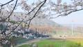 桜 風景 花の動画 39981775