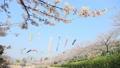 桜 風景 花の動画 39981841