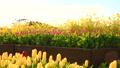 菜の花とチューリップ 40011898