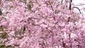 常陸風土記の丘のしだれ桜 40048248