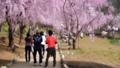 常陸風土記の丘のしだれ桜 40048249