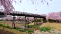 常陸風土記の丘のしだれ桜 40048252