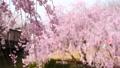 常陸風土記の丘のしだれ桜 40048253