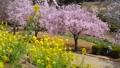 常陸風土記の丘のしだれ桜と菜の花 40048260