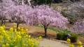 常陸風土記の丘のしだれ桜と菜の花 40048261