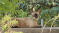 Thai domestic cat on the fence, animal background. 40092156
