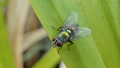 Green fly on leaves 40092157