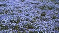 日立海浜公園のネモフィラの花畑 40111201