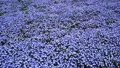 日立海浜公園のネモフィラの花畑 40111203