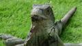 鬣蜥蜴 公园 爬行动物 40123371
