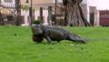 鬣蜥蜴 公园 爬行动物 40123393