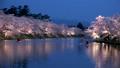 桜咲く弘前城 西濠夜景 パン 40167175