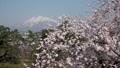 弘前城からの桜と岩木山 パン 40167209