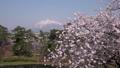 弘前城からの桜と岩木山 ズームイン 40167210